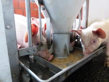 Breiautomat Schweinemast