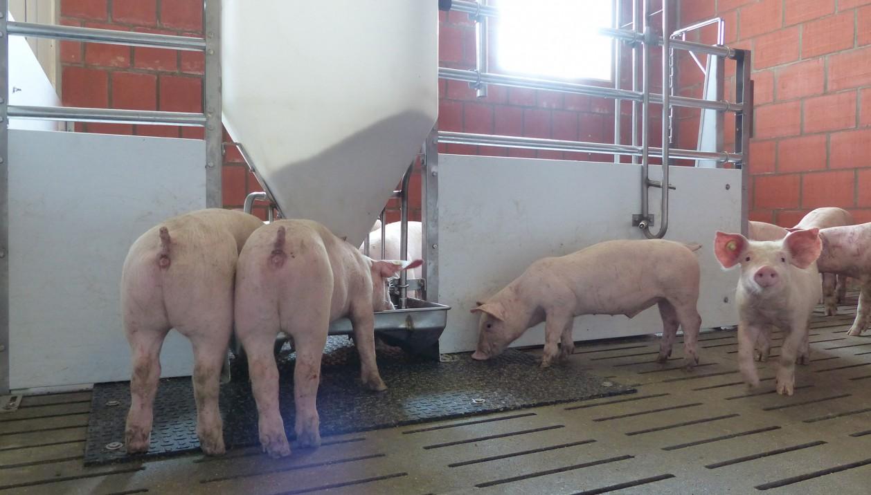 Stalleinrichtung Schweine Maststall 1