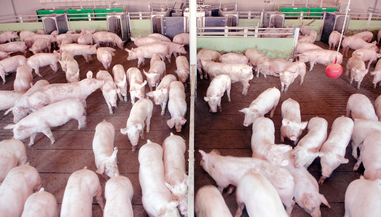 Mastschweine Sortierschleuse Großgruppe