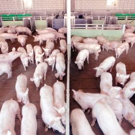 Mastschweine-Seite-4